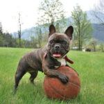 The Ultimate Guide To Owning A French Bulldog In 2021